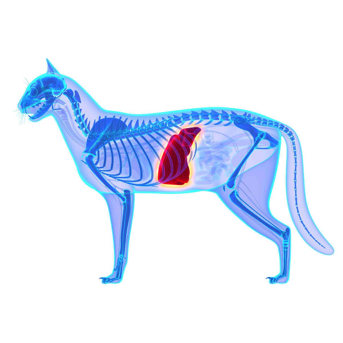 En digital illustrasjon av et røntgenbilde av en katt med leveren fremhevet i rødt