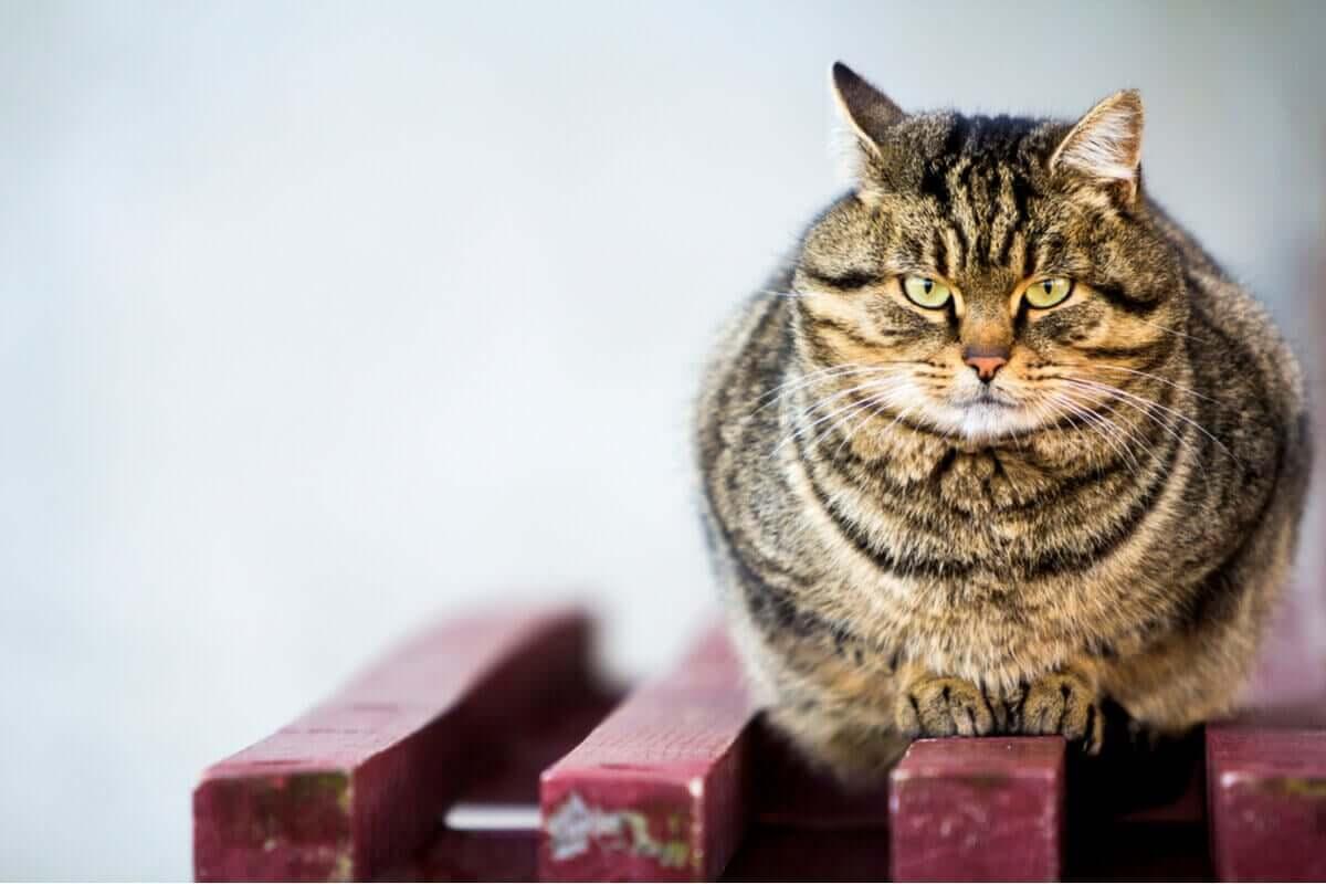 En overvekt tigerstripet katt sitter på en benk