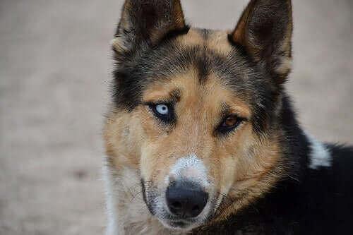 Sti hos hunder: Hvordan holde øynene friske