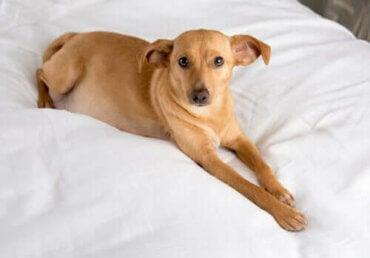 Innbilt drektighet og melkedannelse hos hunder