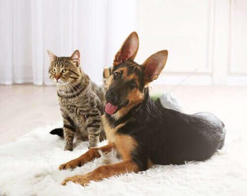 En hund og katt som sitter sammen i en stue