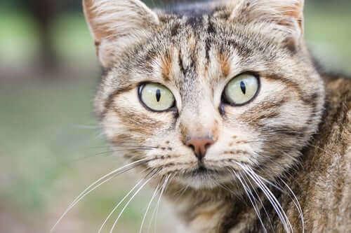 En katt som stirrer inn i kameraet