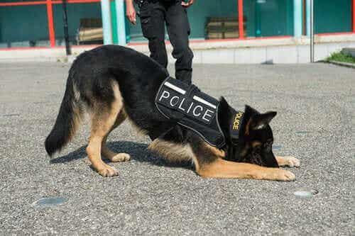 Hva er egenskapene til en god politihund?