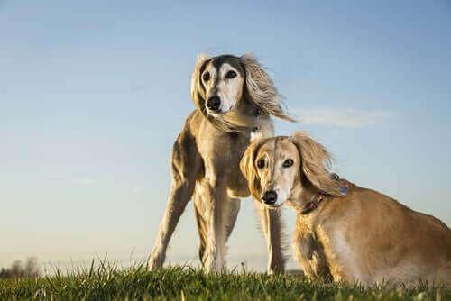 Hunderasen saluki: Egypts royale hund