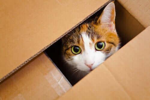 En katt i en pappeske