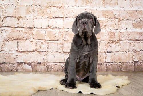 En ung napolitansk mastiff