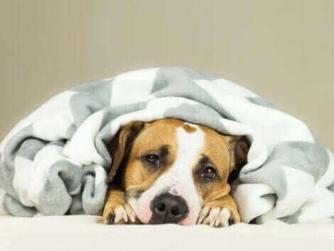 En hund som ligger under et teppe.