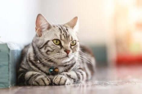 En katt som ligger.