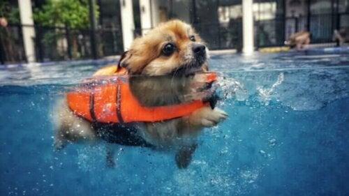Fem tips å ta hensyn til hvis du vil svømme med hunden din