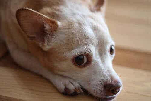 Allergi: Finnes det allergitester for hunder?