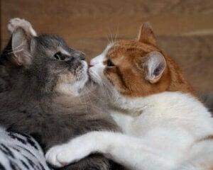 Hvorfor katter bråker når de parer seg