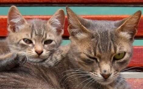 Katter i ferd med å parre seg.