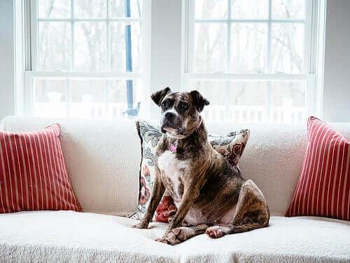 Hva er den virkelige opprinnelsen til tamhunder?