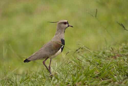 Lær alt om fuglen bronsevipe