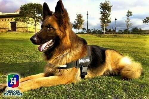 En Schæfer som ligger på gresset - de mest populære hunderasene i Amerika