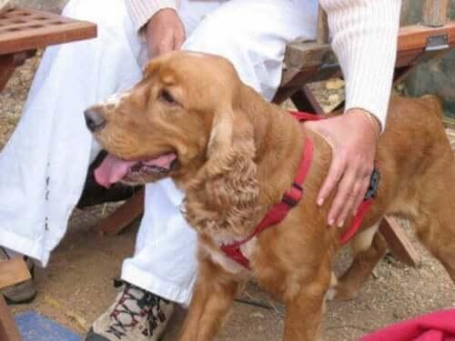 Hvordan trene hunden din til å akseptere håndtering