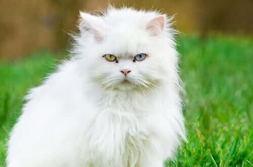 En langhåret katt som sitter på plenen