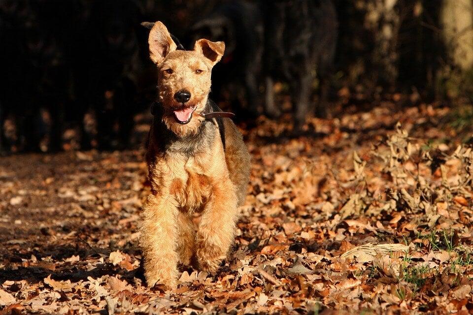 Welsh Terrier er europeiske hunderaser