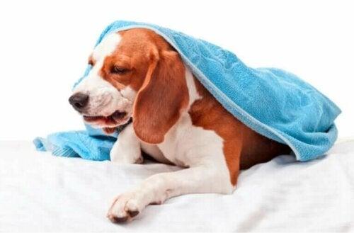 Beskrivelse av smittsom trakeobronkitt hos hunder