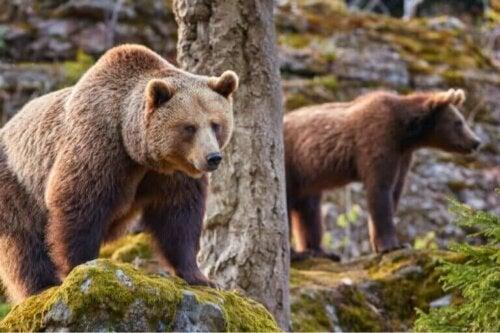 Effektene av klimaendringer for den kantabriske brunbjørnen