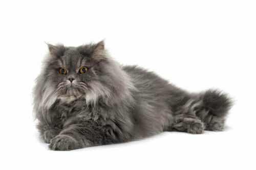 perserkatten er en av de mest verdsatte katterasene