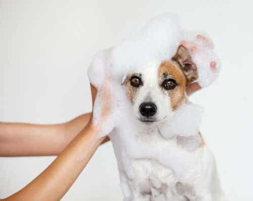 En person som bader en hund.