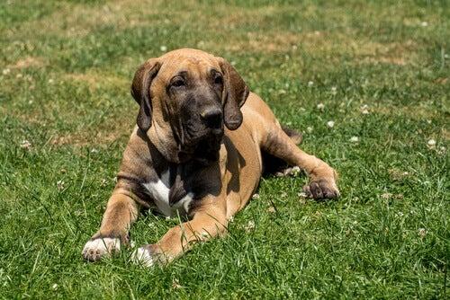 Fila brasileiro er blant hunderaser som krever lite