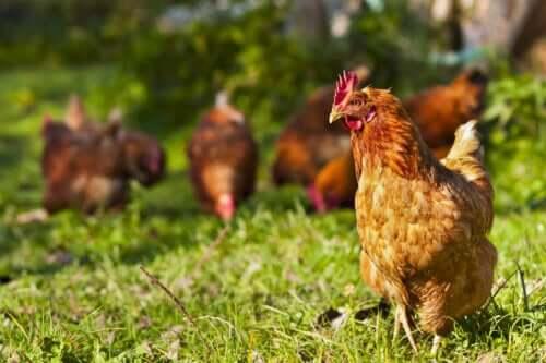 Frittgående kyllinger.
