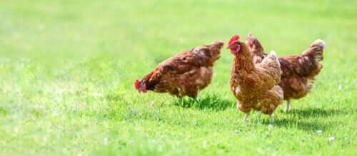 Kyllinger som går på en gressplen.