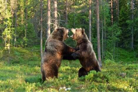To bjørner som sloss.