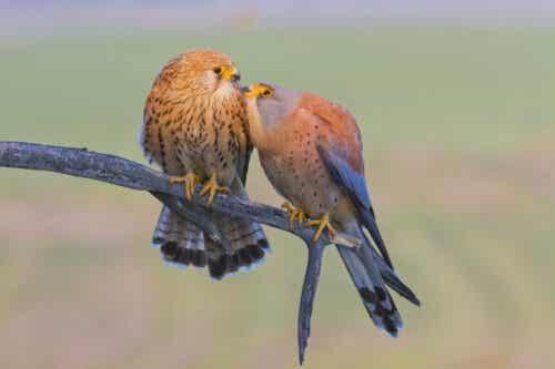 To fugler som sitter sammen.