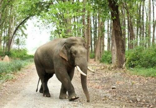 Typer og kjennetegn hos asiatiske elefanter