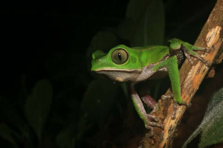 Apefrosker: Habitat og karakteristikker