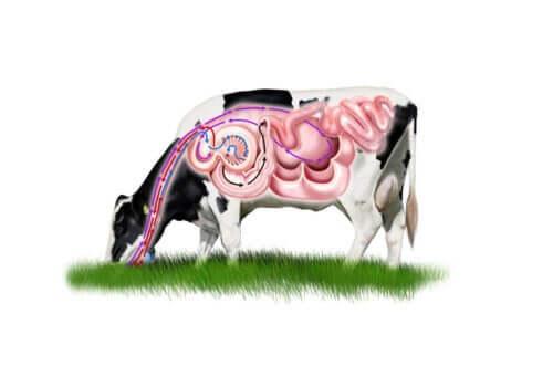 En illustrasjon av kuas fordøyelsessystem