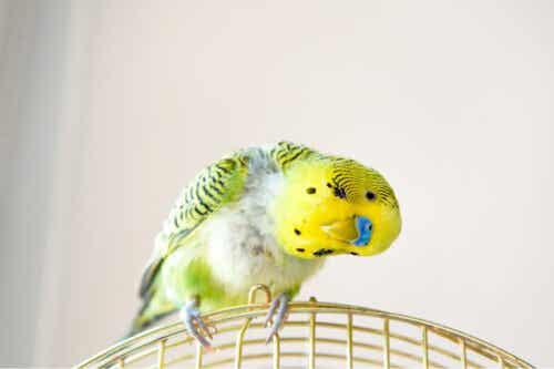 En gul og grønn undulat