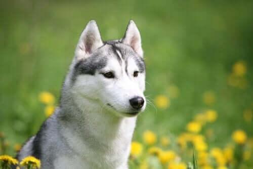 Redning av hunder: Husky fanget i et tomt hus