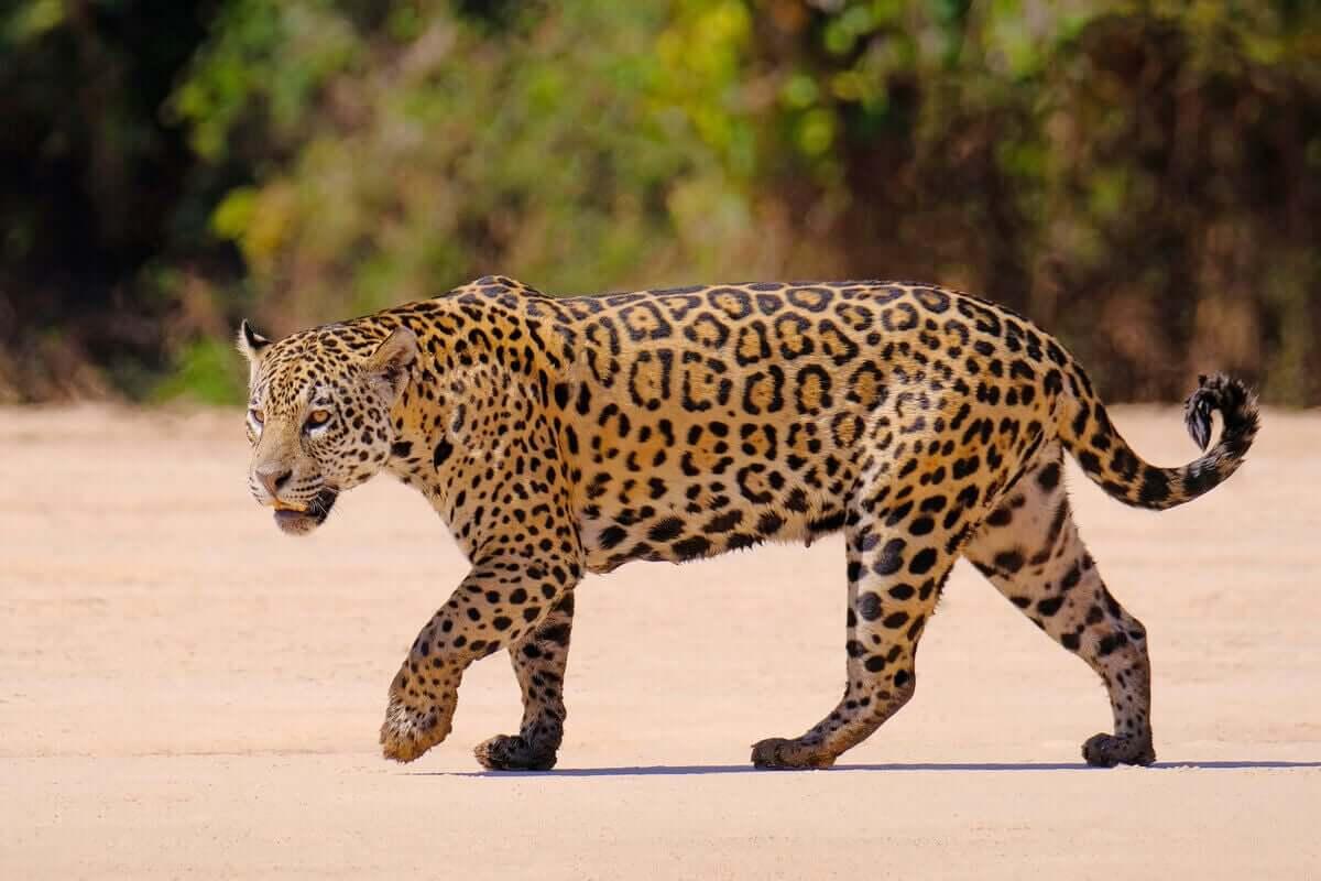 En jaguar som går på sand