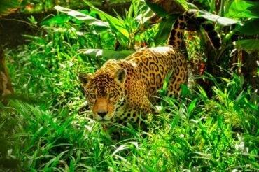 Hva er forskjellen mellom jaguarer og leoparder?