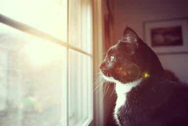 En svart og hvit katt som ser ut gjennom et vindu
