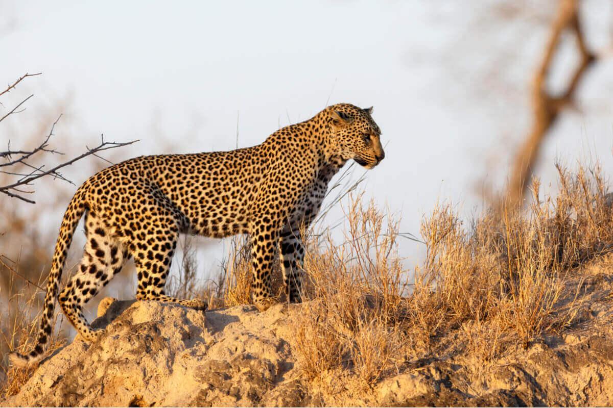 En leopard forfølger byttet sitt