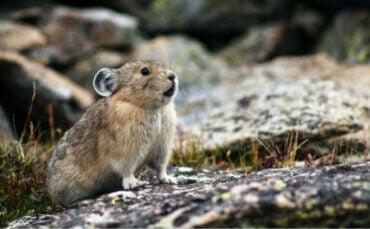 Pika eller pipeharer: habitat og karakteristikker