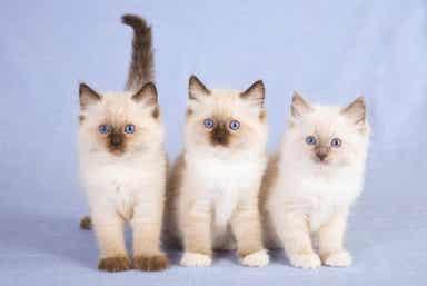 Tre hvite kattunger