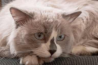 En grå og hvit katt med blå øyne