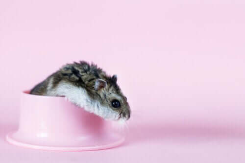 En hamster foran en rosa bakgrunn