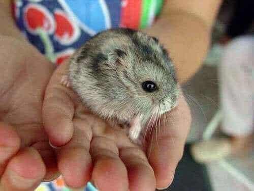 Bør du være bekymret for et hamsterbitt?