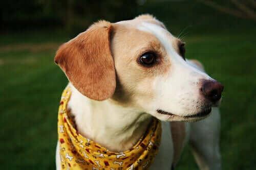 Babesiose hos hund: En flåttoverført sykdom