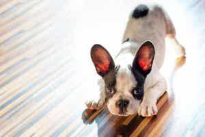 En fransk bulldog-valp.