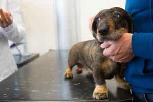 En hund hos veterinæren.