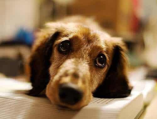 En hund med flåttoverført sykdom.