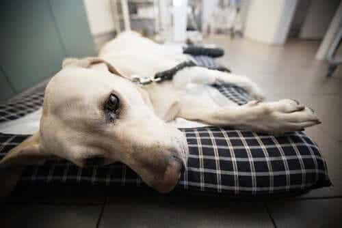 En hund som ligger på en sykehusseng.